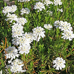Flowers: Iberis umbellata. ~ By Charles Brun. ~ Copyright © 2020. ~ brunc[at]wsu.edu ~ Pacific Northwest Plants - www.pnwplants.wsu.edu/
