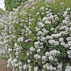 Plant form: Iberis umbellata. ~ By Charles Brun. ~ Copyright © 2020. ~ brunc[at]wsu.edu ~ Pacific Northwest Plants - www.pnwplants.wsu.edu/
