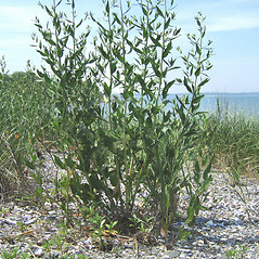 Plant form: Lepidium latifolium. ~ By Alexey Zinovjev. ~ Copyright © 2021. ~ webmaster[at]salicicola.com ~ Salicicola - www.salicicola.com/