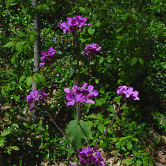 Flowers: Lunaria annua. ~ By Arthur Haines. ~ Copyright © 2020. ~ arthurhaines[at]wildblue.net