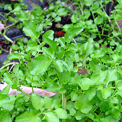 Leaves: Nasturtium officinale. ~ By Arthur Haines. ~ Copyright © 2020. ~ arthurhaines[at]wildblue.net