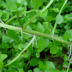 Stems: Nasturtium officinale. ~ By Arthur Haines. ~ Copyright © 2020. ~ arthurhaines[at]wildblue.net
