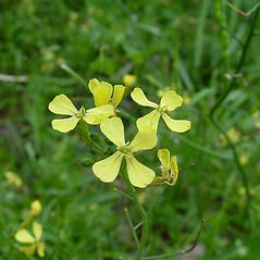 Flowers: Raphanus raphanistrum. ~ By Arthur Haines. ~ Copyright © 2020. ~ arthurhaines[at]wildblue.net