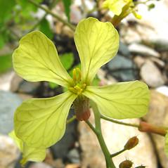 Flowers: Raphanus raphanistrum. ~ By Donna Kausen. ~ Copyright © 2020 Donna Kausen. ~ 33 Bears Den, Addison, ME 04606