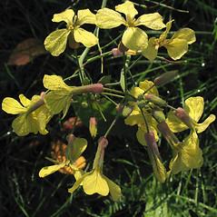 Flowers: Raphanus raphanistrum. ~ By Marilee Lovit. ~ Copyright © 2021 Marilee Lovit. ~ lovitm[at]gmail.com