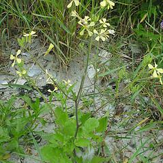 Plant form: Raphanus raphanistrum. ~ By Glen Mittelhauser. ~ Copyright © 2020 Glen Mittelhauser. ~ www.mainenaturalhistory.org