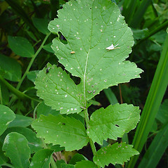 Leaves: Raphanus raphanistrum. ~ By Glen Mittelhauser. ~ Copyright © 2020 Glen Mittelhauser. ~ www.mainenaturalhistory.org