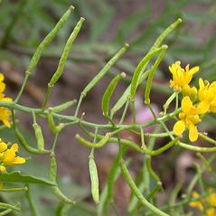 Fruits: Rorippa sylvestris. ~ By Peter M. Dziuk. ~ Copyright © 2020 Peter M. Dziuk. ~ http://www.minnesotawildflowers.info ~ Minnesota Wildflowers - www.minnesotawildflowers.info/