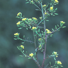 Plant form: Rorippa sylvestris. ~ By Albert Bussewitz. ~ Copyright © 2020 New England Wild Flower Society. ~ Image Request, images[at]newenglandwild.org