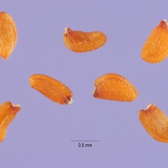 Fruits: Sisymbrium loeselii. ~ By Steve Hurst. ~  Public Domain. ~  ~ USDA-NRCS Plants Database - plants.usda.gov/java/