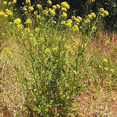Plant form: Sisymbrium loeselii. ~ By Ben Legler. ~ Copyright © 2021 Ben Legler. ~ mountainmarmot[at]hotmail.com ~ U. of Washington - WTU - Herbarium - biology.burke.washington.edu/herbarium/imagecollection.php