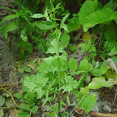 Plant form: Sisymbrium officinale. ~ By Glen Mittelhauser. ~ Copyright © 2020 Glen Mittelhauser. ~ www.mainenaturalhistory.org