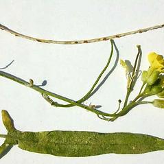 Leaves: Sisymbrium orientale. ~ By Ernst Horak. ~ Copyright © 2020 Ernst Horak. ~ BOTANIK IM BILD http:/flora.nhm-wien.ac.at ~ Wien Natural History Museum, Vienna, Austria