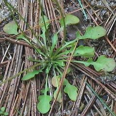 Leaves: Teesdalia nudicaulis. ~ By Alexey Zinovjev. ~ Copyright © 2020. ~ webmaster[at]salicicola.com ~ Salicicola - www.salicicola.com/
