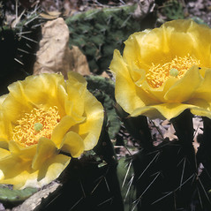 Flowers: Opuntia humifusa. ~ By Adelaide Pratt. ~ Copyright © 2020 New England Wild Flower Society. ~ Image Request, images[at]newenglandwild.org