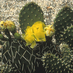 Plant form: Opuntia humifusa. ~ By David Heppert. ~ Copyright © 2020 New England Wild Flower Society. ~ Image Request, images[at]newenglandwild.org