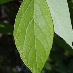 Leaves: Calycanthus floridus. ~ By Steven Baskauf. ~ Copyright © 2020 CC-BY-NC-SA. ~  ~ Bioimages - www.cas.vanderbilt.edu/bioimages/frame.htm