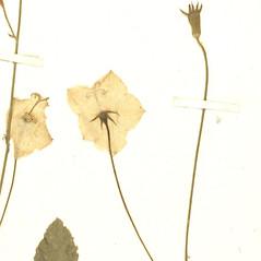 Fruits: Campanula carpatica. ~ By Botanic Garden and Botanical Museum Berlin-Dahlem. ~ Copyright © 2020 CC BY-SA. ~  ~ Botanic Garden and Botanical Museum Berlin-Dahlem - ww2.bgbm.org/Herbarium/default.cfm
