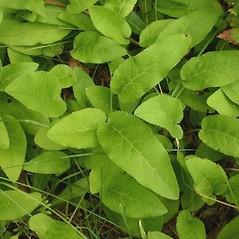 Leaves: Campanula glomerata. ~ By Steve Garske. ~ Copyright © 2021 Steve Garske. ~ asimina[at]alphacomm.net