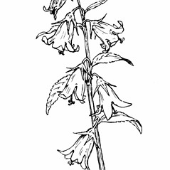 Flowers: Campanula latifolia. ~ By Gordon Morrison. ~ Copyright © 2021 New England Wild Flower Society. ~ Image Request, images[at]newenglandwild.org