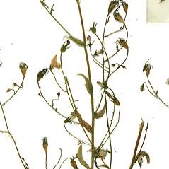 Fruits: Campanula patula. ~ By Botanic Garden and Botanical Museum Berlin-Dahlem. ~ Copyright © 2021 CC BY-SA. ~  ~ Botanic Garden and Botanical Museum Berlin-Dahlem - ww2.bgbm.org/Herbarium/default.cfm