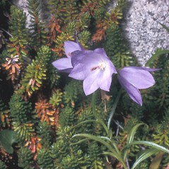 Flowers: Campanula rotundifolia. ~ By Frank Bramley. ~ Copyright © 2021 New England Wild Flower Society. ~ Image Request, images[at]newenglandwild.org