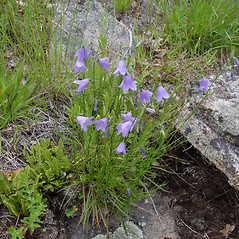 Plant form: Campanula rotundifolia. ~ By Donald Cameron. ~ Copyright © 2021 Donald Cameron. ~ No permission needed for non-commercial uses, with proper credit