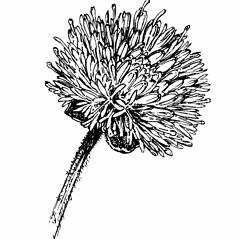 Flowers: Jasione montana. ~ By Gordon Morrison. ~ Copyright © 2021 New England Wild Flower Society. ~ Image Request, images[at]newenglandwild.org