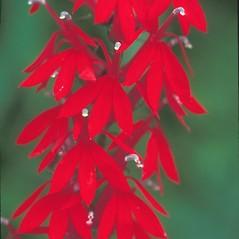 Flowers: Lobelia cardinalis. ~ By Arieh Tal. ~ Copyright © 2021 Arieh Tal. ~ http://botphoto.com/ ~ Arieh Tal - botphoto.com