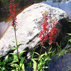 Plant form: Lobelia cardinalis. ~ By Dawn Dentzer. ~ Copyright © 2020. ~ dawndentzer[at]gmail.com