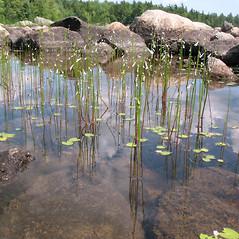 Plant form: Lobelia dortmanna. ~ By Marilee Lovit. ~ Copyright © 2021 Marilee Lovit. ~ lovitm[at]gmail.com