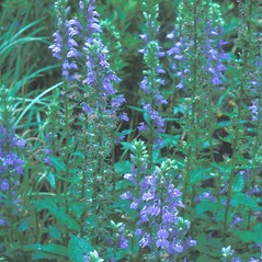 Plant form: Lobelia siphilitica. ~ By Dorothy Long. ~ Copyright © 2020 New England Wild Flower Society. ~ Image Request, images[at]newenglandwild.org
