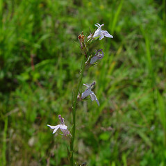 Flowers: Lobelia spicata. ~ By Arthur Haines. ~ Copyright © 2021. ~ arthurhaines[at]wildblue.net