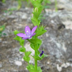 Plant form: Triodanis perfoliata. ~ By Arthur Haines. ~ Copyright © 2020. ~ arthurhaines[at]wildblue.net