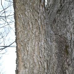 Bark: Celtis occidentalis. ~ By Arieh Tal. ~ Copyright © 2020 Arieh Tal. ~ www.nttlphoto.com ~ Arieh Tal - www.nttlphoto.com