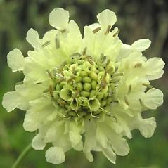 Flowers: Cephalaria gigantea. ~ By JirÕ Novàk. ~ Copyright © 2020 JirÕ Novàk. ~ anodonta[at]tiscali.cz ~ Biolib - www.biolib.cz