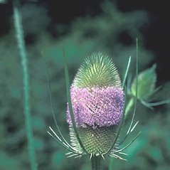 Flowers: Dipsacus fullonum. ~ By John Lynch. ~ Copyright © 2020 New England Wild Flower Society. ~ Image Request, images[at]newenglandwild.org