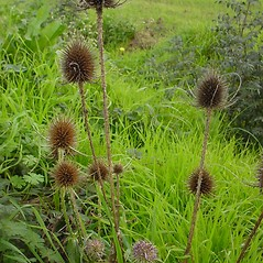 Fruits: Dipsacus fullonum. ~ By Glen Mittelhauser. ~ Copyright © 2020 Glen Mittelhauser. ~ www.mainenaturalhistory.org