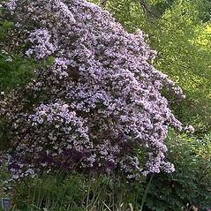 Plant form: Kolkwitzia amabilis. ~ By Paul S. Drobot. ~ Copyright © 2020 Paul S. Drobot. ~ www.plantstogrow.com, www.plantstockphotos.com ~ Robert W. Freckmann Herbarium, U. of Wisconsin-Stevens Point