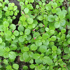 Leaves: Linnaea borealis. ~ By Marilee Lovit. ~ Copyright © 2021 Marilee Lovit. ~ lovitm[at]gmail.com