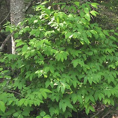 Plant form: Lonicera canadensis. ~ By Marilee Lovit. ~ Copyright © 2021 Marilee Lovit. ~ lovitm[at]gmail.com