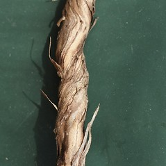 Bark: Lonicera japonica. ~ By James Miller. ~ Copyright © 2020 CC BY-NC 3.0. ~  ~ Bugwood - www.bugwood.org/