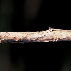 Bark: Lonicera japonica. ~ By James Miller. ~ Copyright © 2021 CC BY-NC 3.0. ~  ~ Bugwood - www.bugwood.org/
