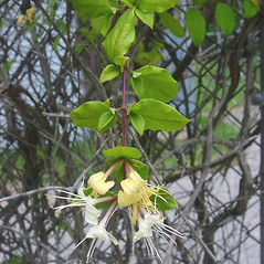 Flowers: Lonicera japonica. ~ By Donald Cameron. ~ Copyright © 2021 Donald Cameron. ~ No permission needed for non-commercial uses, with proper credit
