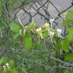 Flowers: Lonicera japonica. ~ By Donald Cameron. ~ Copyright © 2020 Donald Cameron. ~ No permission needed for non-commercial uses, with proper credit