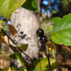 Fruits: Lonicera japonica. ~ By Franklin Bonner. ~ Copyright © 2021 CC BY-NC 3.0. ~  ~ Bugwood - www.bugwood.org/