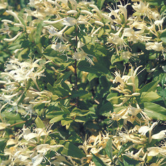 Plant form: Lonicera japonica. ~ By Adelaide Pratt. ~ Copyright © 2021 New England Wild Flower Society. ~ Image Request, images[at]newenglandwild.org