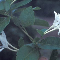 Leaves: Lonicera japonica. ~ By Lawrence Newcomb. ~ Copyright © 2021 New England Wild Flower Society. ~ Image Request, images[at]newenglandwild.org