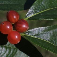 Fruits: Lonicera maackii. ~ By Steven Baskauf. ~ Copyright © 2021 CC-BY-NC-SA. ~  ~ Bioimages - www.cas.vanderbilt.edu/bioimages/frame.htm