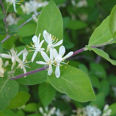 Flowers: Lonicera morrowii. ~ By Arthur Haines. ~ Copyright © 2020. ~ arthurhaines[at]wildblue.net